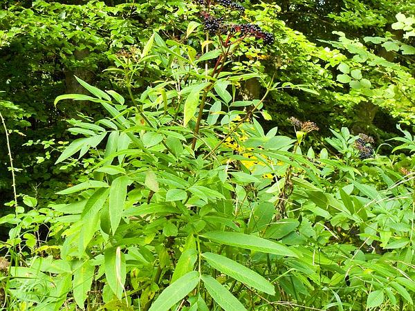 Dwarf Elderberry (Sambucus Ebulus) https://www.sagebud.com/dwarf-elderberry-sambucus-ebulus