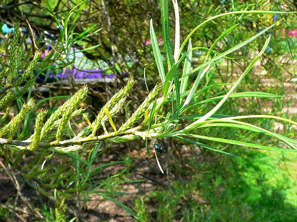 Elaeagnus Willow (Salix Elaeagnos) https://www.sagebud.com/elaeagnus-willow-salix-elaeagnos