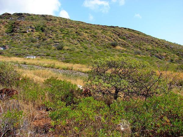 Coastal Sandalwood (Santalum Ellipticum) https://www.sagebud.com/coastal-sandalwood-santalum-ellipticum