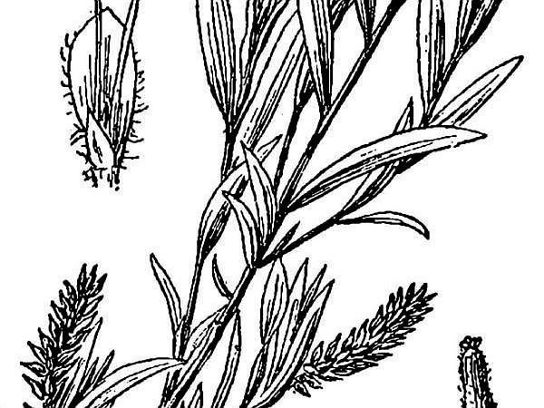 Narrowleaf Willow (Salix Exigua) https://www.sagebud.com/narrowleaf-willow-salix-exigua