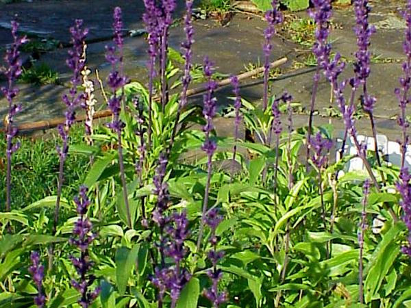 Mealycup Sage (Salvia Farinacea) https://www.sagebud.com/mealycup-sage-salvia-farinacea/