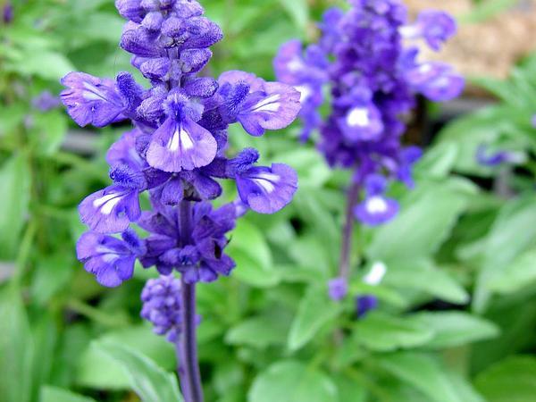 Mealycup Sage (Salvia Farinacea) https://www.sagebud.com/mealycup-sage-salvia-farinacea