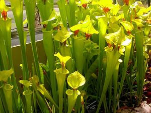 Yellow Pitcherplant