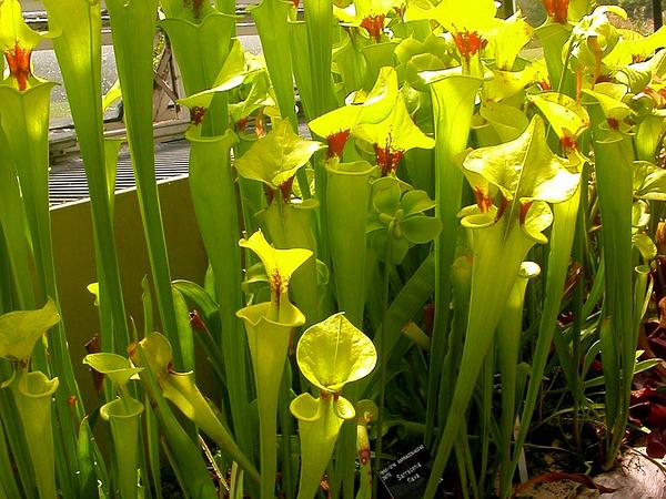 Yellow Pitcherplant (Sarracenia Flava) https://www.sagebud.com/yellow-pitcherplant-sarracenia-flava