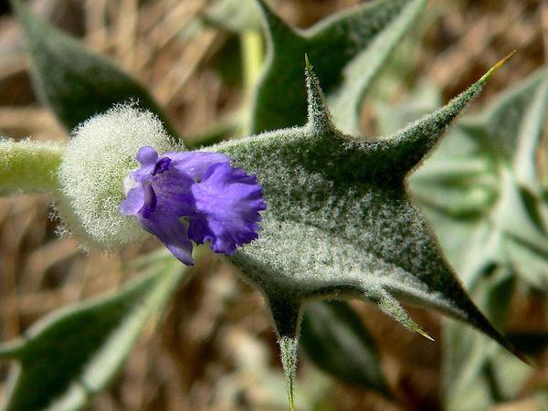 Woolly Sage (Salvia Funerea) https://www.sagebud.com/woolly-sage-salvia-funerea
