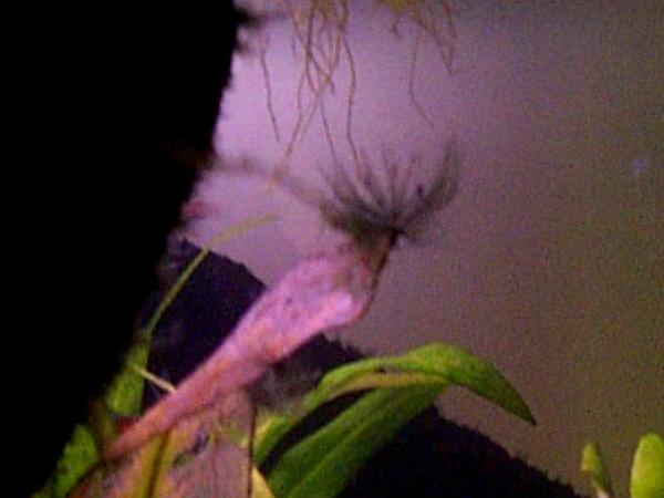 Arrowhead (Sagittaria) https://www.sagebud.com/arrowhead-sagittaria/