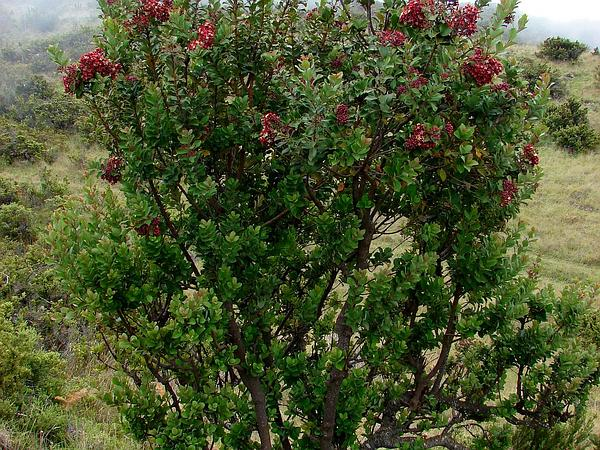Haleakala Sandalwood (Santalum Haleakalae) https://www.sagebud.com/haleakala-sandalwood-santalum-haleakalae