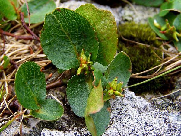 Snowbed Willow (Salix Herbacea) https://www.sagebud.com/snowbed-willow-salix-herbacea