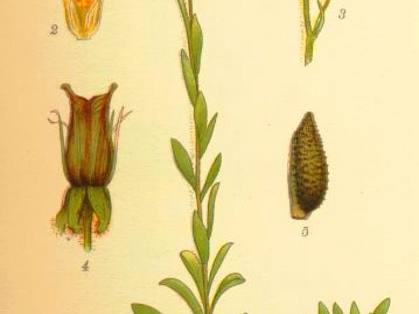 Yellow Marsh Saxifrage (Saxifraga Hirculus) https://www.sagebud.com/yellow-marsh-saxifrage-saxifraga-hirculus
