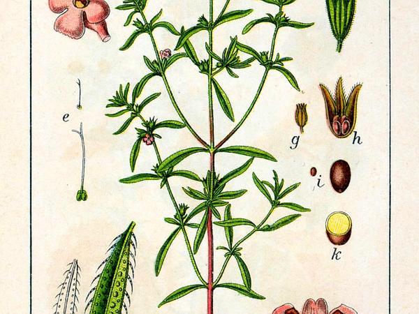Summer Savory (Satureja Hortensis) https://www.sagebud.com/summer-savory-satureja-hortensis