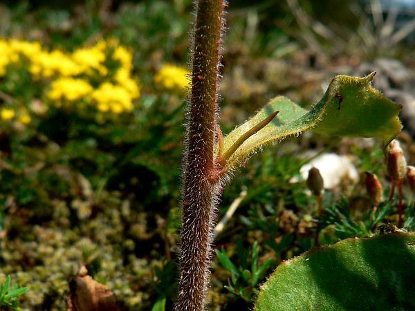 Wholeleaf Saxifrage (Saxifraga Integrifolia) https://www.sagebud.com/wholeleaf-saxifrage-saxifraga-integrifolia