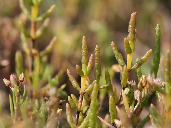 Pickleweed (Salicornia) https://www.sagebud.com/pickleweed-salicornia