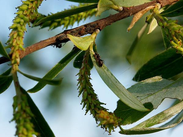 Willow (Salix) https://www.sagebud.com/willow-salix