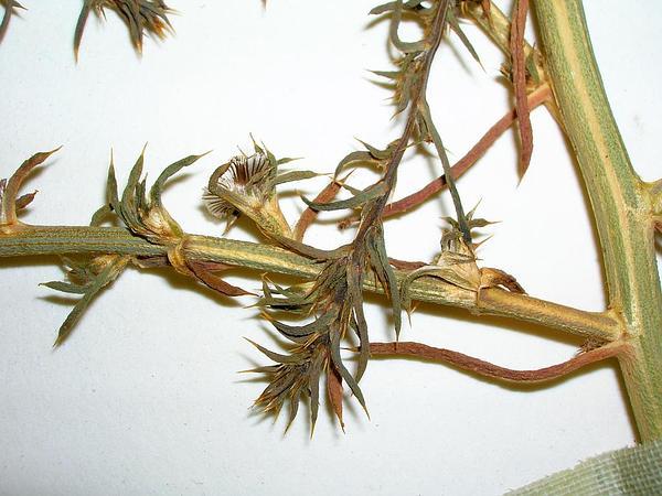 Russian Thistle (Salsola) https://www.sagebud.com/russian-thistle-salsola/