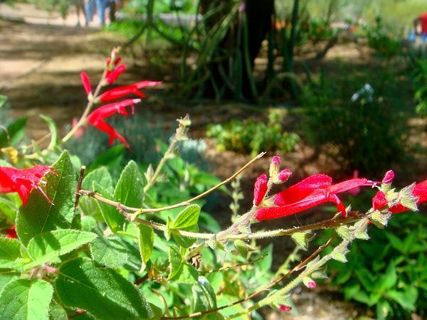Sage (Salvia) https://www.sagebud.com/sage-salvia