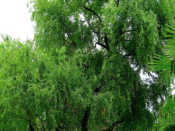 Corkscrew Willow (Salix Matsudana) https://www.sagebud.com/corkscrew-willow-salix-matsudana