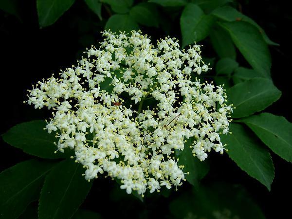 Elderberry (Sambucus) https://www.sagebud.com/elderberry-sambucus