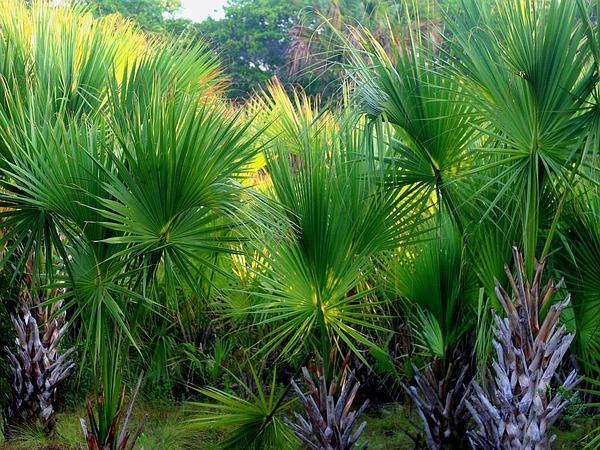Rio Grande Palmetto (Sabal Mexicana) https://www.sagebud.com/rio-grande-palmetto-sabal-mexicana/
