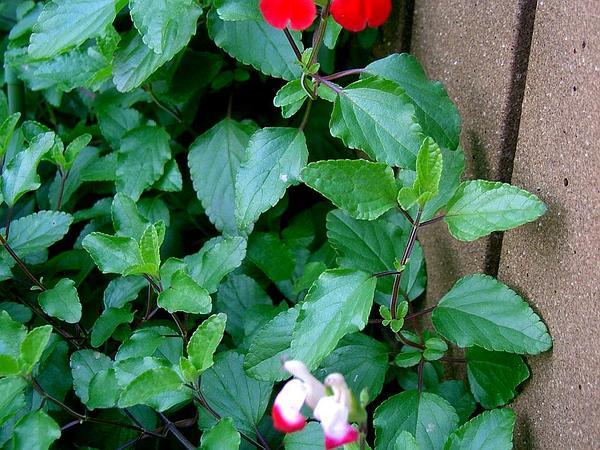 Baby Sage (Salvia Microphylla) https://www.sagebud.com/baby-sage-salvia-microphylla