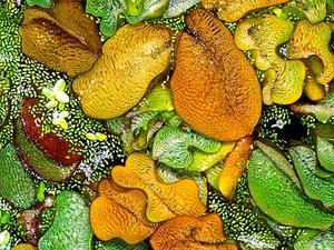 Kariba-Weed
