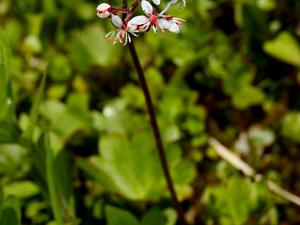 Heartleaf Saxifrage