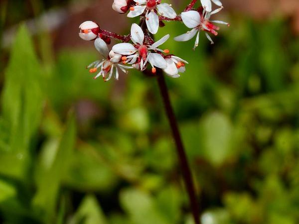 Heartleaf Saxifrage (Saxifraga Nelsoniana) https://www.sagebud.com/heartleaf-saxifrage-saxifraga-nelsoniana