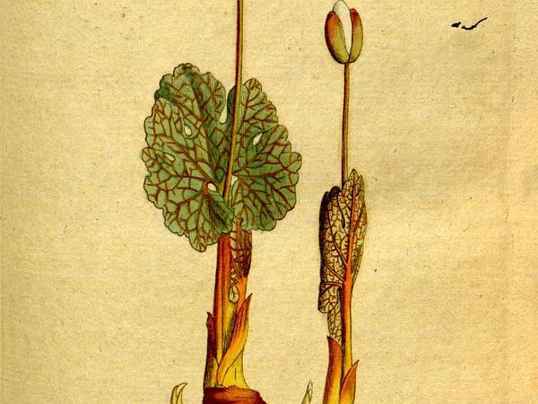 Bloodroot (Sanguinaria) https://www.sagebud.com/bloodroot-sanguinaria