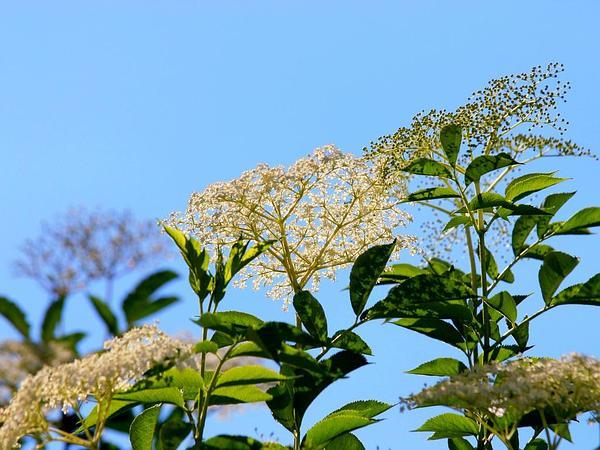 Black Elderberry (Sambucus Nigra) https://www.sagebud.com/black-elderberry-sambucus-nigra