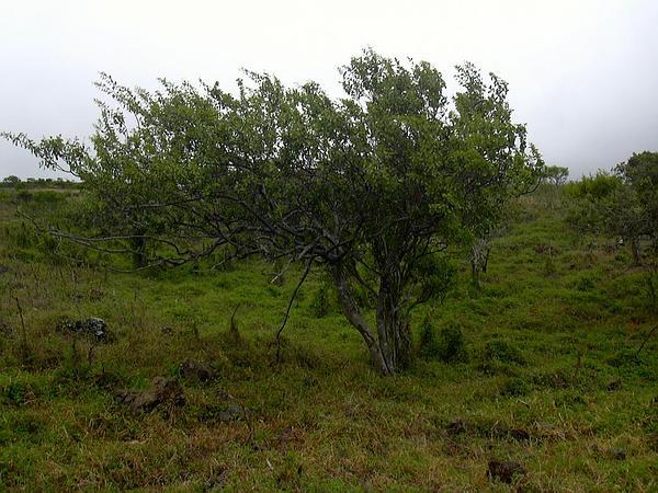 Sandalwood (Santalum) https://www.sagebud.com/sandalwood-santalum