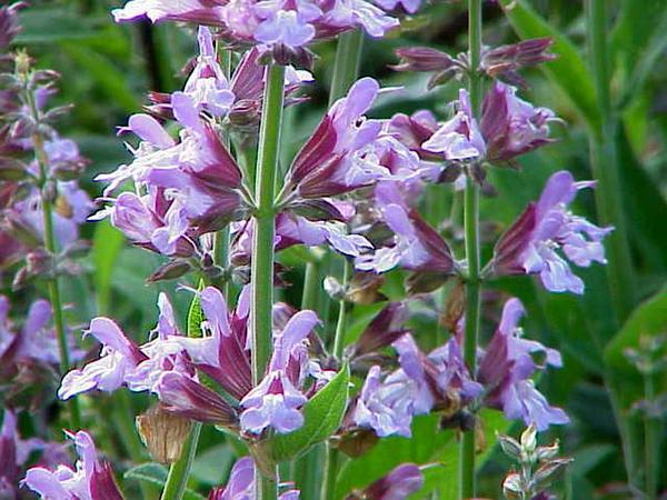 Kitchen Sage (Salvia Officinalis) https://www.sagebud.com/kitchen-sage-salvia-officinalis