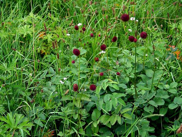 Official Burnet (Sanguisorba Officinalis) https://www.sagebud.com/official-burnet-sanguisorba-officinalis/