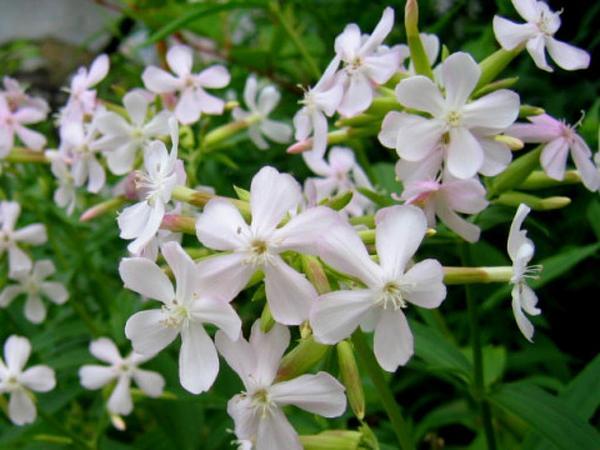 Bouncingbet (Saponaria Officinalis) https://www.sagebud.com/bouncingbet-saponaria-officinalis