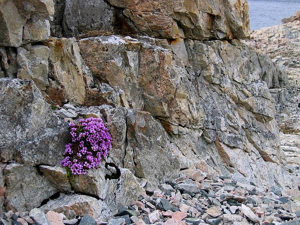 Purple Mountain Saxifrage (Saxifraga Oppositifolia) https://www.sagebud.com/purple-mountain-saxifrage-saxifraga-oppositifolia