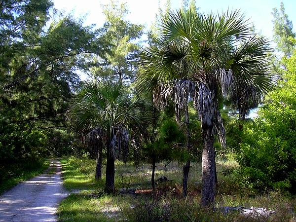 Cabbage Palmetto (Sabal Palmetto) https://www.sagebud.com/cabbage-palmetto-sabal-palmetto