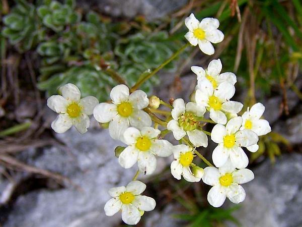 White Mountain Saxifrage (Saxifraga Paniculata) https://www.sagebud.com/white-mountain-saxifrage-saxifraga-paniculata