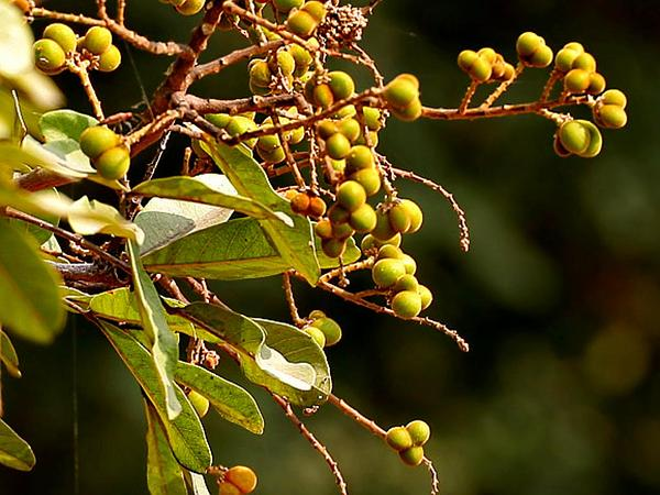 Soapberry (Sapindus) https://www.sagebud.com/soapberry-sapindus/