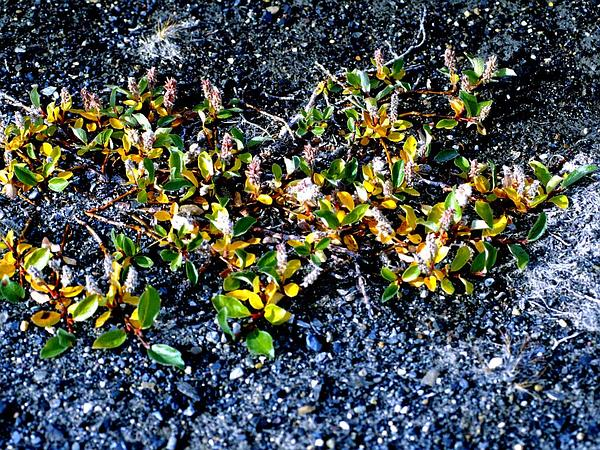 Diamondleaf Willow (Salix Planifolia) https://www.sagebud.com/diamondleaf-willow-salix-planifolia