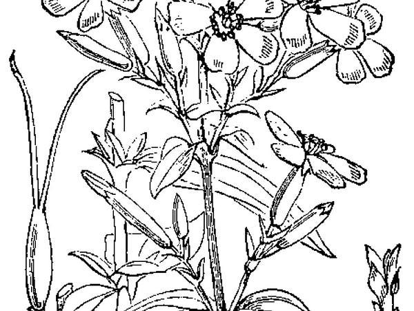 Soapwort (Saponaria) https://www.sagebud.com/soapwort-saponaria