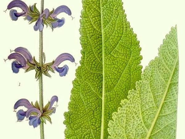 Introduced Sage (Salvia Pratensis) https://www.sagebud.com/introduced-sage-salvia-pratensis