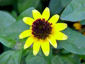 Mexican Creeping Zinnia