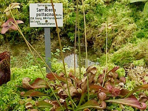 Parrot Pitcherplant (Sarracenia Psittacina) https://www.sagebud.com/parrot-pitcherplant-sarracenia-psittacina