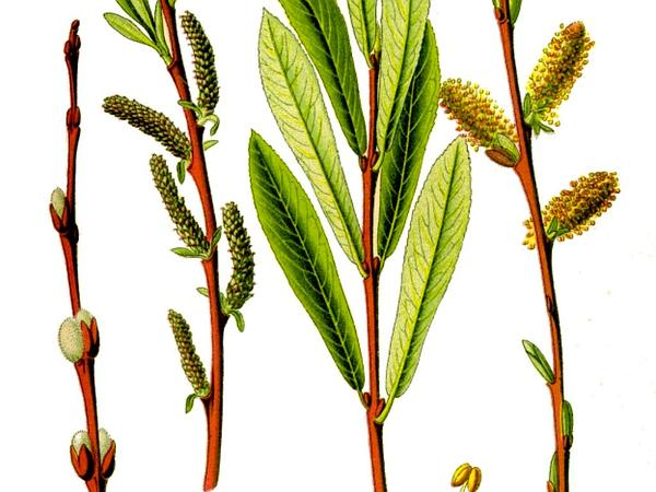 Purpleosier Willow (Salix Purpurea) https://www.sagebud.com/purpleosier-willow-salix-purpurea