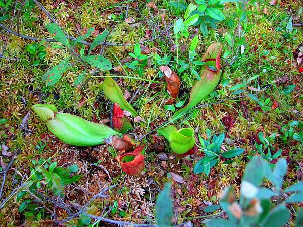 Purple Pitcherplant (Sarracenia Purpurea) https://www.sagebud.com/purple-pitcherplant-sarracenia-purpurea