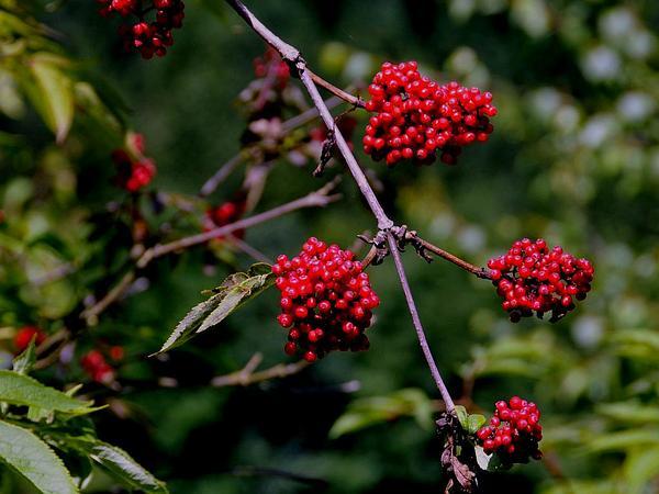 Red Elderberry (Sambucus Racemosa) https://www.sagebud.com/red-elderberry-sambucus-racemosa