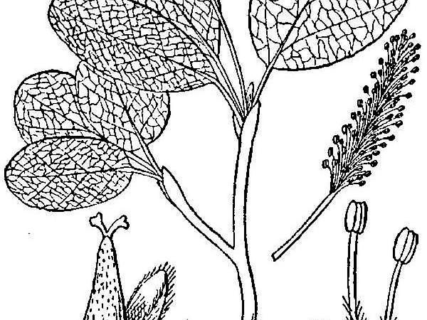 Netleaf Willow (Salix Reticulata) https://www.sagebud.com/netleaf-willow-salix-reticulata