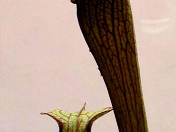 Sweet Pitcherplant (Sarracenia Rubra) https://www.sagebud.com/sweet-pitcherplant-sarracenia-rubra/