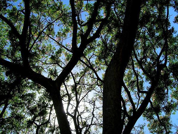 Raintree (Samanea Saman) https://www.sagebud.com/raintree-samanea-saman/