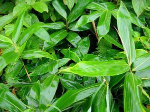 Broadleaf Bamboo