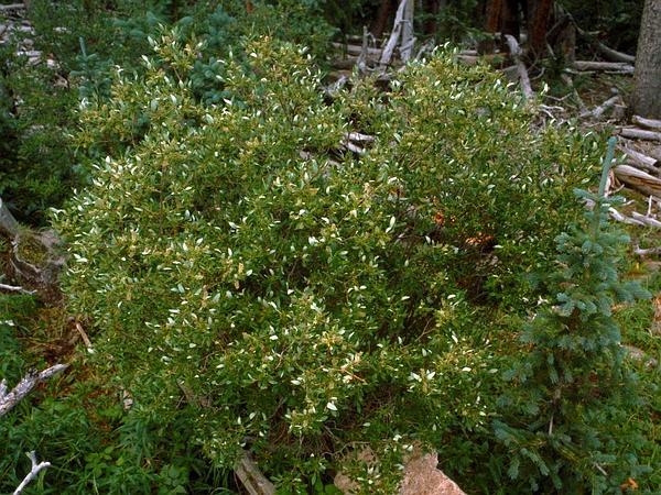 Scouler's Willow (Salix Scouleriana) https://www.sagebud.com/scoulers-willow-salix-scouleriana