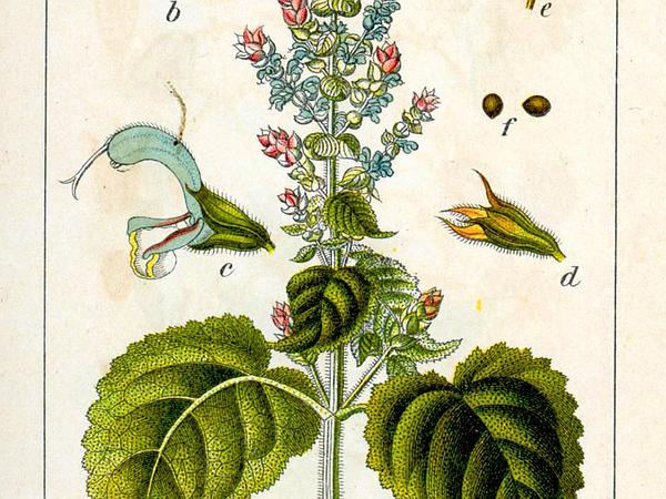 Europe Sage (Salvia Sclarea) https://www.sagebud.com/europe-sage-salvia-sclarea